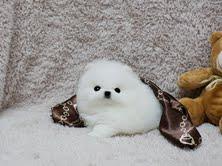 Regalo Pomerania Mini