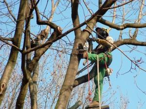 Arbucies Jardineria poda altura cesped pinos peligrosos