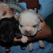 Impresionantes cachorros de bulldog francés blanco y negro para la adopción libre !!