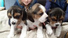 Tricolor cachorros Beagle para libre adopción.
