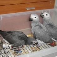Loros del gris africano juguetón gratis