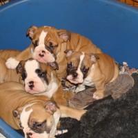 o adorables bulldog ingles cachorros con vacuna