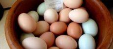 Huevos de loro fértiles para la venta